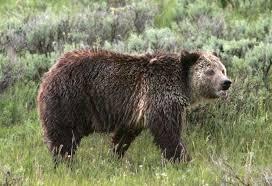Hungry Bears Perishing On Western Montana Highways Local - bear attacks woman who was walking her dog along yellowstone river