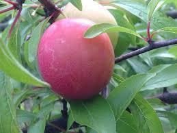 robusto plum just fruits and exotics