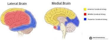 The Anatomy Of The Human Brain Arterial Supply To The Brain Carotid Vertebral Teachmeanatomy