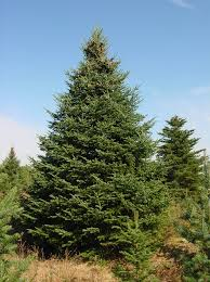 balsam tree balsam fir bj evergreen
