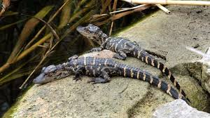 baby alligator 255420 walldevil