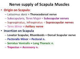 Innervation Of Supraspinatus Bones Of Upper Limb Appendicular Skeleton Pectoral Girdle