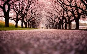 cherry blossom tree photo collection cherry blossom tree wallpaper widescreen