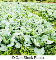 plante de cuisine cuisine jardin chou fleur plante légume chou photographie