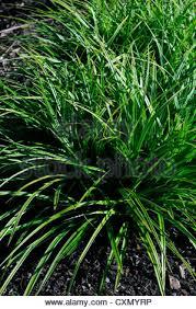 carex morrowii variegata sedge ornamental grass grasses green