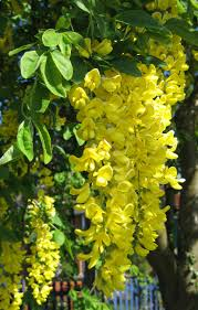 Hanging Flowers File Laburnum Anagyroides Hanging Flower Cluster Jpg Wikimedia