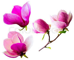 magnolia flowers decoration of few magnolia flowers pink magnolia flower isolated