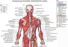 Anatomy And Physiology The Muscular System Muscle Archives Page 6 Of 36 Human Anatomy Chart