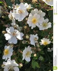 white climbing rose flowers stock photo image 56573526