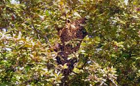 swarm of bees free to a good home if you can catch them