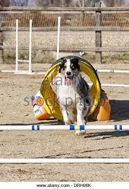 australian shepherd jumping fence agility dog jumping stock photos u0026 agility dog jumping stock