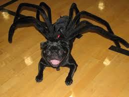 Spider Dog Halloween Costume 10576216 711075945695707 642309355 Njpg480x504 Wizard Oz Pugs