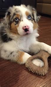 2 australian shepherds 160 best australian shepherd images on pinterest dogs animals