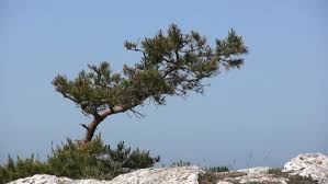 small pine tree on a rock moving in wind stock footage