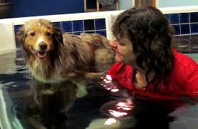 australian shepherd kidney disease jazz mini australian shepherd for adoption holistic veterinary