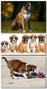 boxer dog grooming information about boxer dog facts feeding u0026 grooming tips of dog
