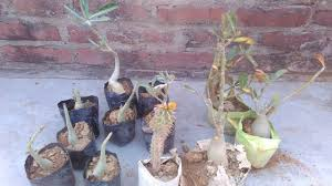 purchasing of new adenium in rate for my terrace garden hindi