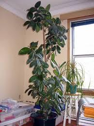 tall house plants nana u0027s workshop
