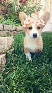 best 25 queen u0027s corgis ideas on pinterest corgi puppies corgi