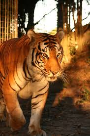 128 best big cat rescue and diary images on pinterest big cat