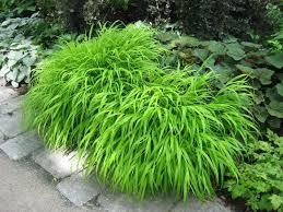 ornamental grasses for shade whitehouse landscaping