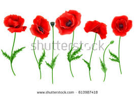 poppies flowers poppy flower isolated on white stock vector 613987418