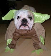 Halloween Costumes English Bulldogs 15 Bulldog Owners Understand Treasure
