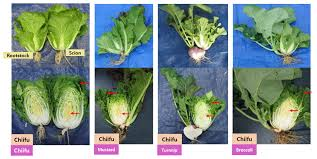 scion plant grafting induced gene expression change in brassica rapa leaves is