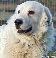 great pyrenees rescue provides wonderful dogs to good homes beacon ny great pyrenees meet shane in oh k new a dog for
