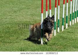 belgian sheepdog agility belgian shepherd dog stock images royalty free images u0026 vectors