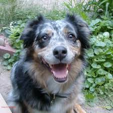 australian shepherd breeders near me aussie rescue of minnesota home