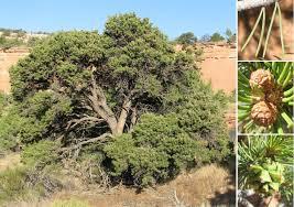 pinyon pine tree colorado national monument u s national park