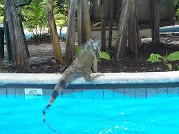 panoramio photo of higuana swiming tortugero costa rica http