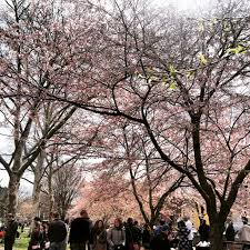 historic wooster square cherry blossom festival new haven reads