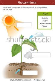 photosynthesis stock images royalty free images u0026 vectors