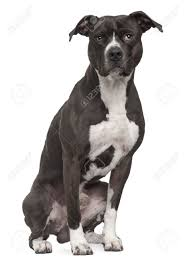 american pitbull terrier gray american pit bull terrier 5 years old sitting in front of white