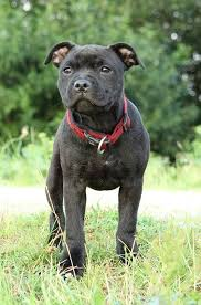 american pit bull terrier zucht jokers jumping staffordshire bullterrier home facebook