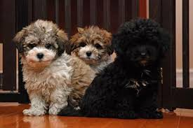 shichon haircuts shichon puppies for sale love my dog pinterest dog doggies