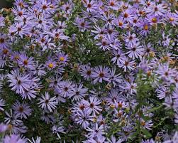 native plants list fall aster and other