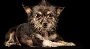 long hair chihuahua hair growth what to expect chihuahua terrier mix what to expect from this unusual mix breed dog