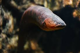 Seeking Eel Device Inspired By Electric Eels Could Run Tomorrow S Implantables