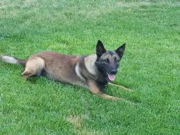 belgian shepherd killed midvale dog u0027s shooting prompts bill to pay for k 9 armor the