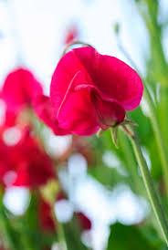 18 best sweet peas images on pinterest sweet peas cut flowers