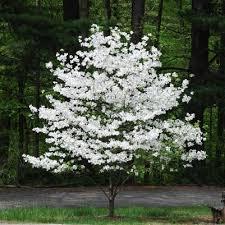 white flowering dogwood white flowering dogwood new blooms nursery
