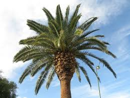 why are there palm trees in los angeles ca updated 2017