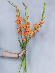 gladiolus flowers how to keep your gladioli fresher for longer how flowers
