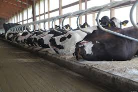 cow waterbeds how advanced comfort technology sold a crazy idea cow waterbeds how advanced comfort technology sold a crazy idea to dairy farmers huffpost