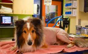 dog euthanasia paralyzed dog escapes euthanasia because vet finds a tick
