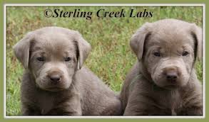 sterling creek labrador puppies southern oklahoma