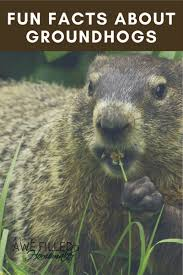fun facts about groundhogs awe filled homemaker